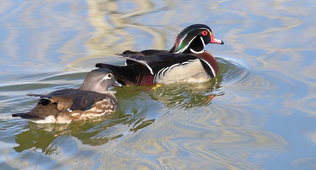 Duck Hunting Basics: Tips for Beginners