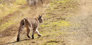 Bobcat Hunting Tips