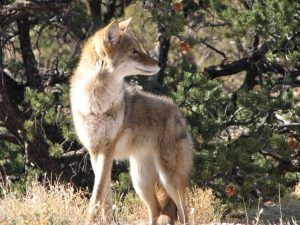 Coyote Hunting Tips and Tricks