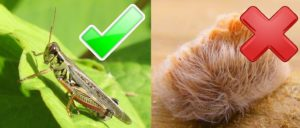 4 Safe Bugs and How to Eat Them