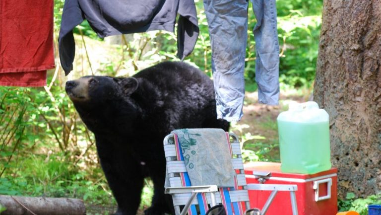 A Camper's Guide To Dealing With Black Bears